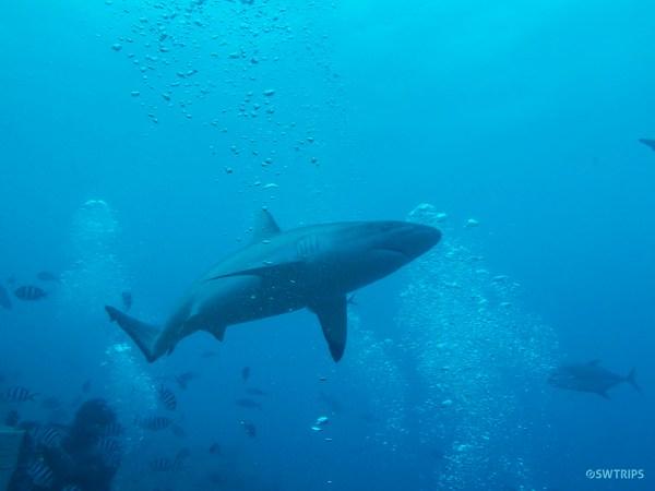 Shark Dive, Beqa Lagoon