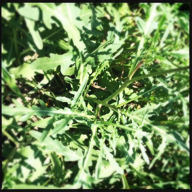Semi wild Italian Arugula in Lower Yurtistan