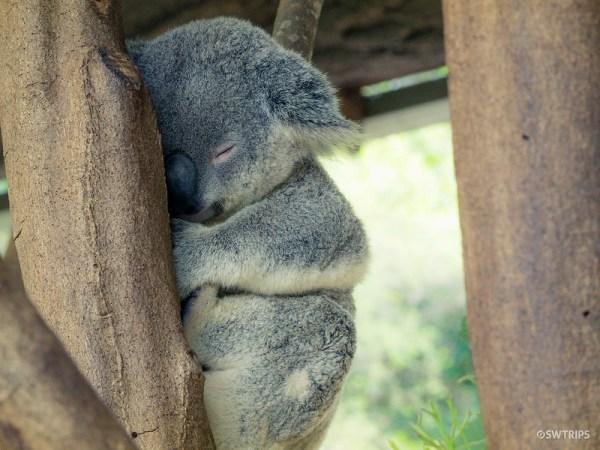 Koala, Australian Zoo