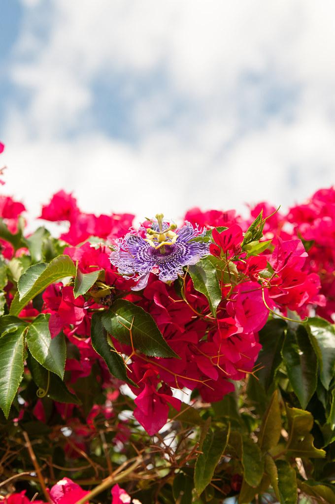 Mallorca Plant