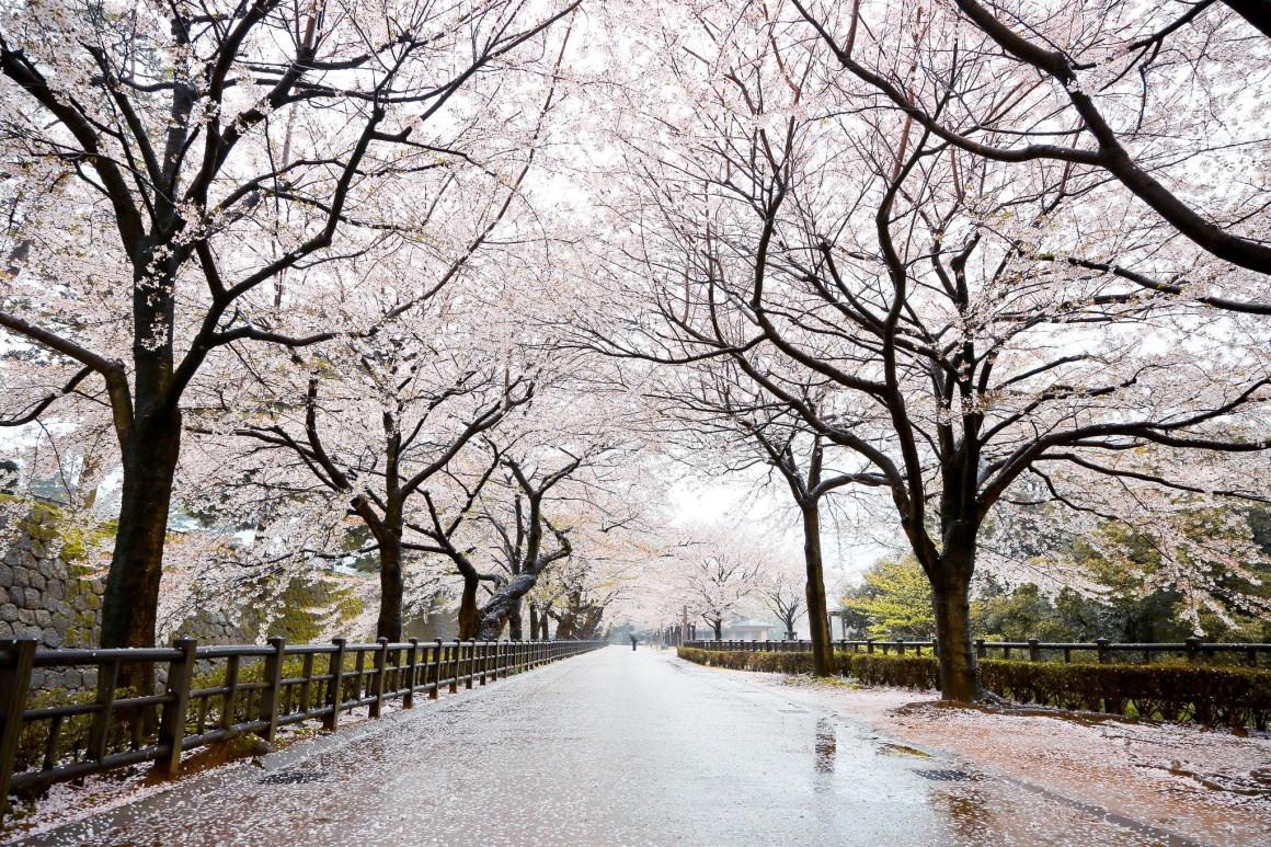 2020年日本櫻花開花預測 金沢城公園