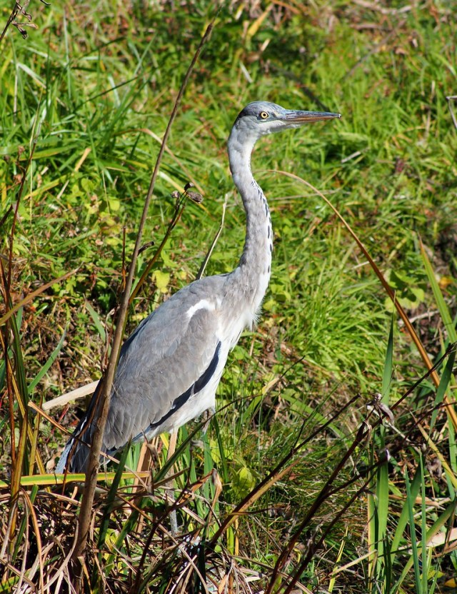 Grey heron (アオサギ)