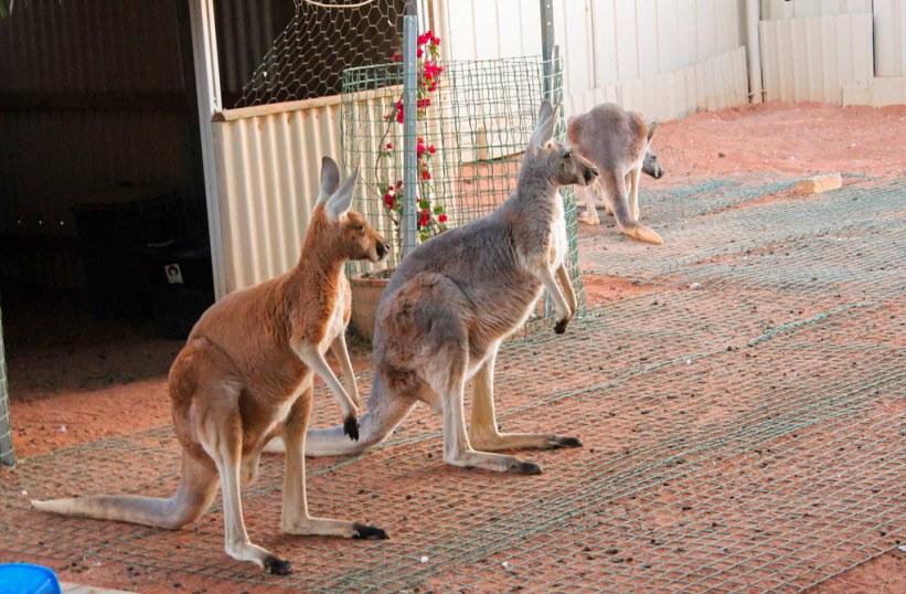 Kænguruer i den australske bush