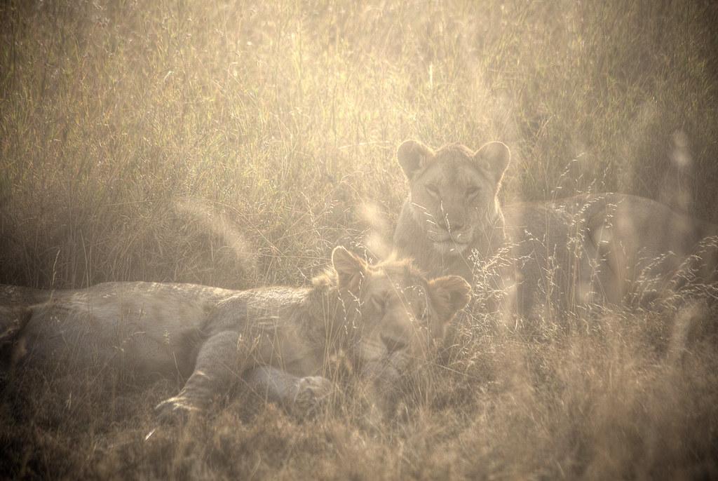 Sunrise lions