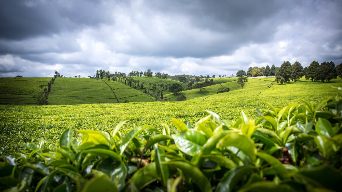 Kibenda Tea Estate_0002