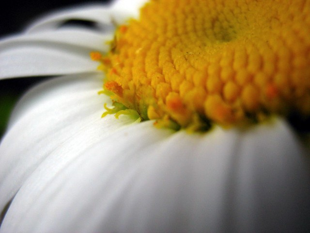 A Study in Daisies I