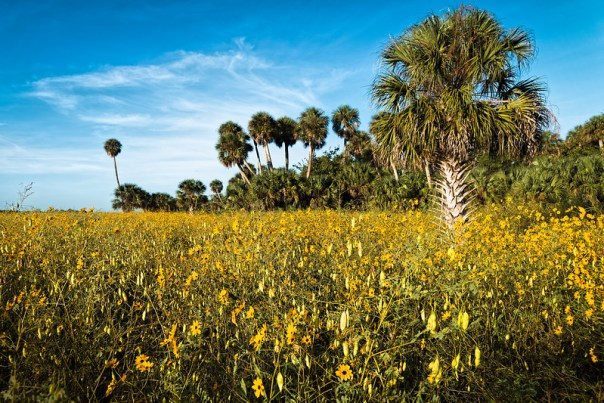 Lake Jesup Sunflowers