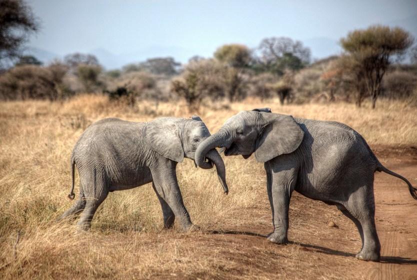 Two elephants playing around