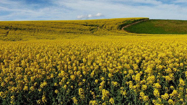 Fields of Gold.Canola.