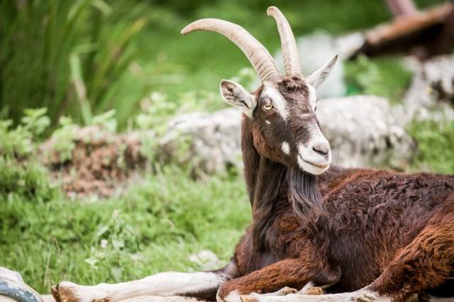 Mr Goat Again