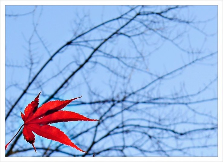 The Maple Leaf (323/365)