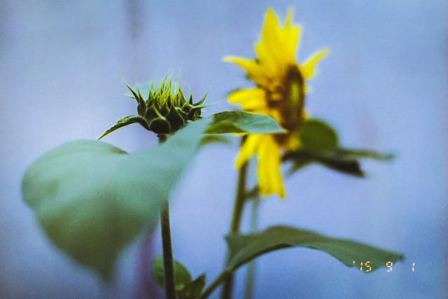 向日葵150901-2