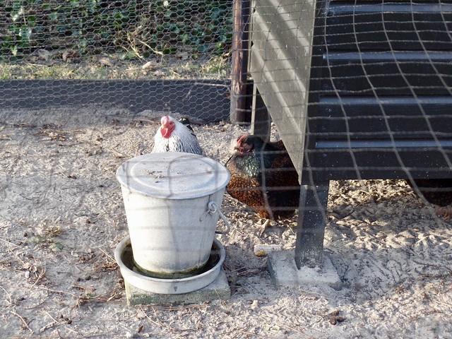 Kippenhok landelijk