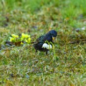 Starling - who stealing flowers