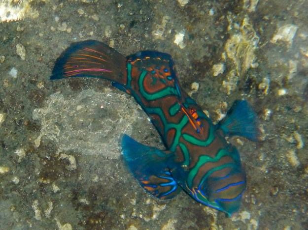 Mandarin fish in front of Blue Motion dive shop.