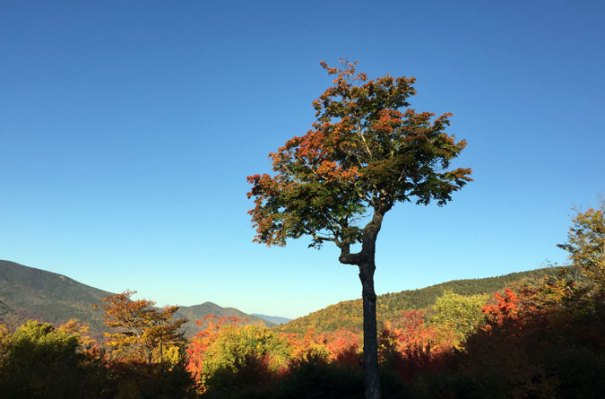 Mt. Hancock Overlook Tree