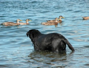 Kona & the ducks