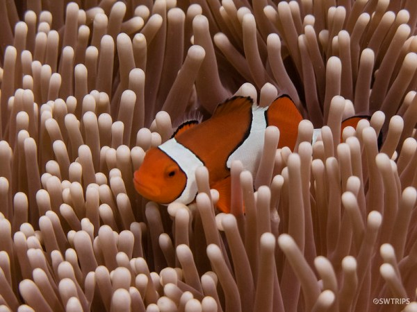Nemo, Great Barrier Reef