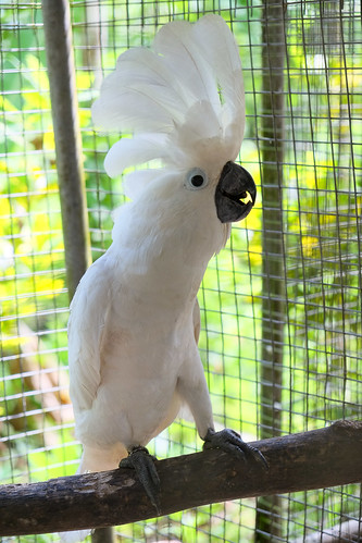 Cockatoo at rehab center near Sawai, Pulau Seram