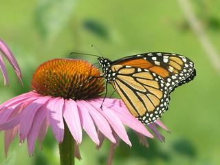 Pretty Monarch Butterfly 003