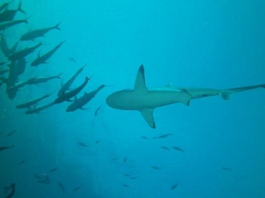 Papa Scuba Diving Trip to Palau: Shark