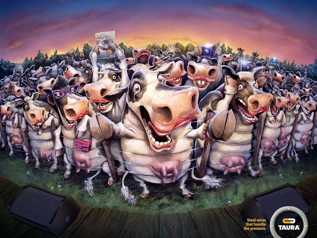 Taura - Cows