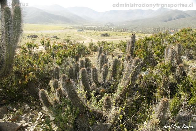 Copao (Eulychnia breviflora) - Los Hornos