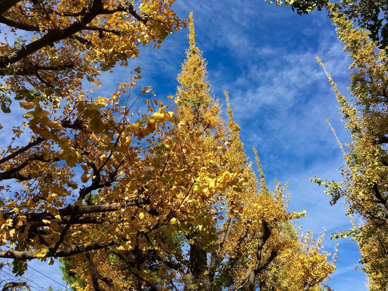 Tokyo Gaien-Mae autumn colors