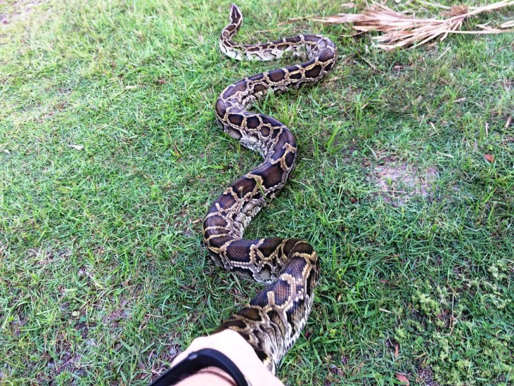 Feeling the Power and Strength of Burmese Python During the 2016 Python Training In-Person Training, Big Cypress National Preserve, Fla. Oct. 24, 2015