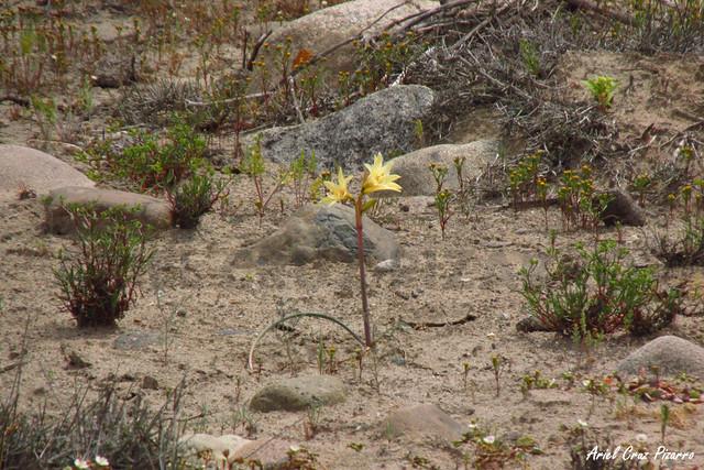 Añañuca amarilla (Rhodophialia bagnoldi) - Desierto Florido