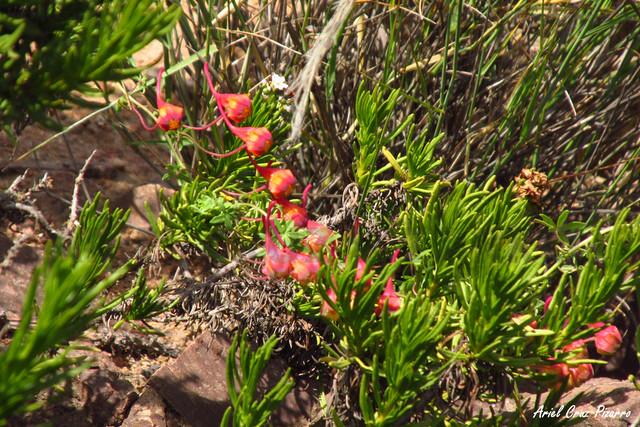 Relicario (Tropaleum tricolor) - Desierto Florido