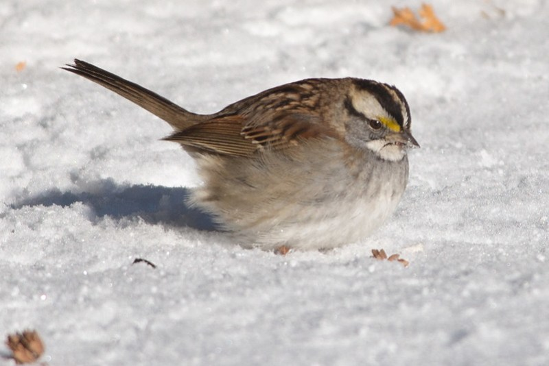 _DSC6162 White-throated Sparrow