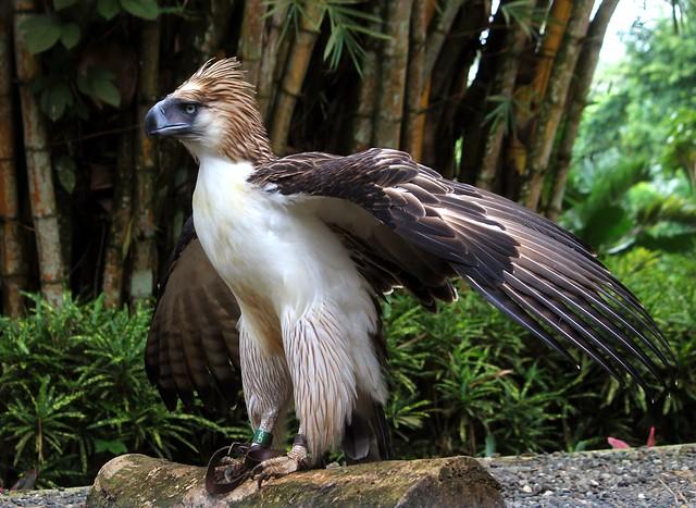Mindanao the Philippine Eagle