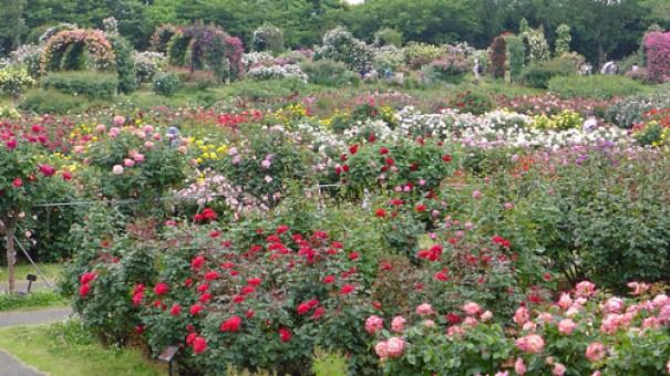 Keisei rose garden. 京成バラ園