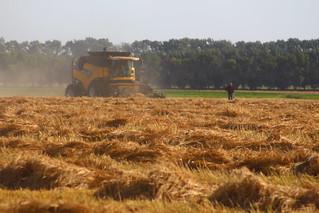 Swathing our last barley field.