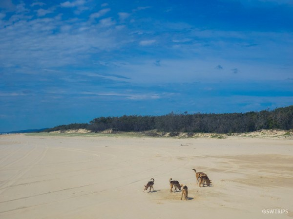 Dingoes, Fraser Island