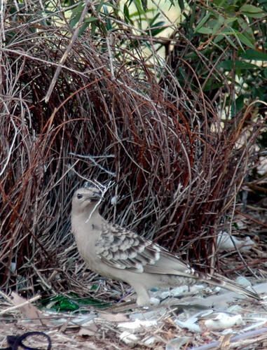 Great Bower Bird by algaedoc