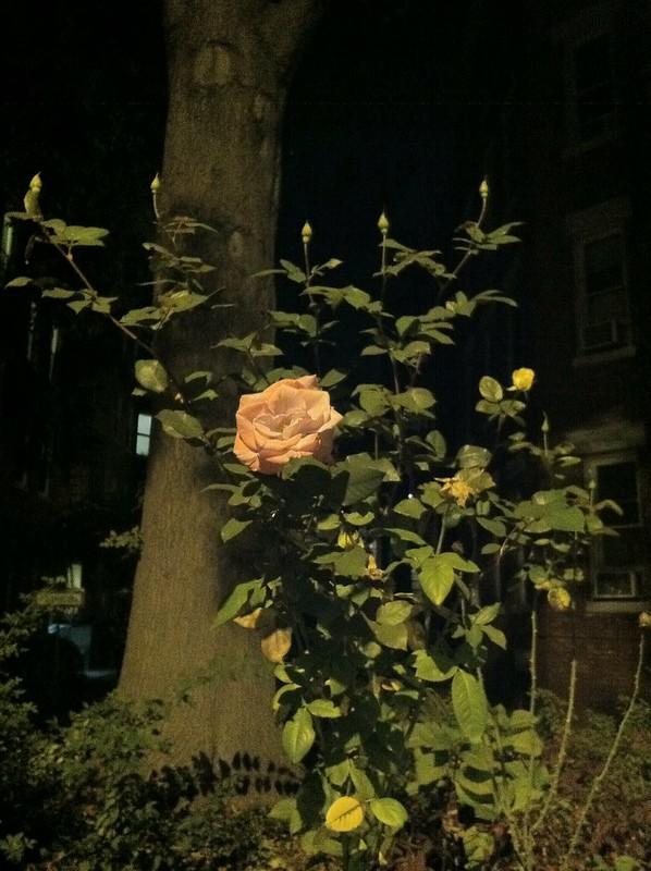November eve rose