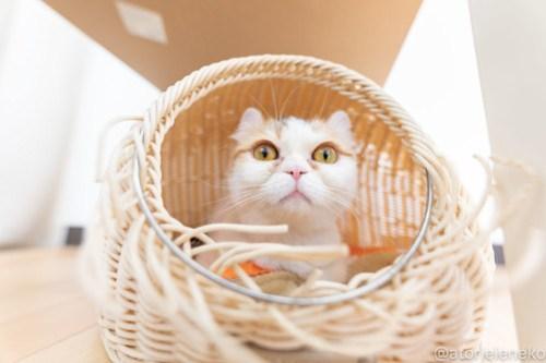 アトリエイエネコ Cat Photographer 40754933544_01d1e3b99c 1日1猫!保護猫カフェねこんチ 新メンバーのおみつちゃん! 1日1猫!  猫写真 猫 子猫 大阪 初心者 写真 保護猫カフェねこんチ 保護猫カフェ 保護猫 スマホ カメラ Kitten Cute cat