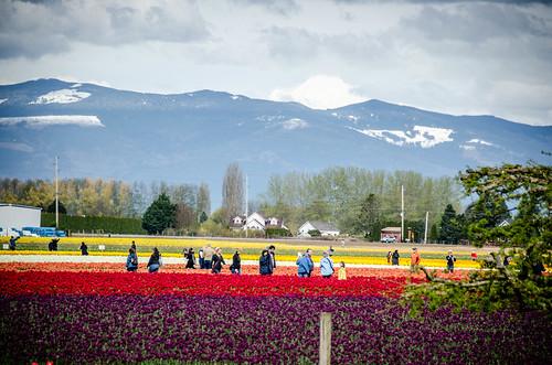 Roozengaarde Tulips-068
