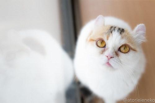 アトリエイエネコ Cat Photographer 40754938934_53481b7b72 1日1猫!保護猫カフェねこんチ 新メンバーのおみつちゃん! 1日1猫!  猫写真 猫 子猫 大阪 初心者 写真 保護猫カフェねこんチ 保護猫カフェ 保護猫 スマホ カメラ Kitten Cute cat
