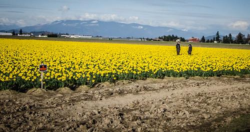 Skagit Daffodils-61