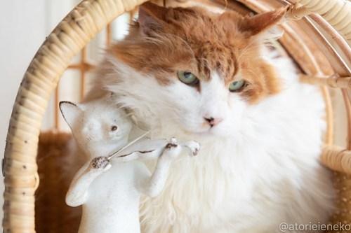 アトリエイエネコ Cat Photographer 40731983555_1edd30d8fe 1日1猫!高槻ねこのおうち 里親樣募集中のゴージャスフサオくん♪ 1日1猫!  高槻ねこのおうち 里親様募集中 猫写真 猫 子猫 大阪 写真 保護猫 スマホ カメラ Kitten Cute cat