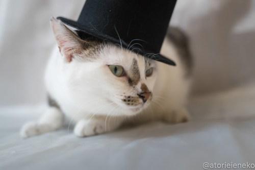 アトリエイエネコ Cat Photographer 39067295790_1f9912ed8e 1日1猫!ニャンとぴあ タラちゃん♪ 1日1猫!  里親様募集中 猫写真 猫 子猫 大阪 初心者 写真 保護猫カフェ 保護猫 ニャンとぴあ スマホ カメラ おおさかねこ倶楽部 Kitten Cute cat