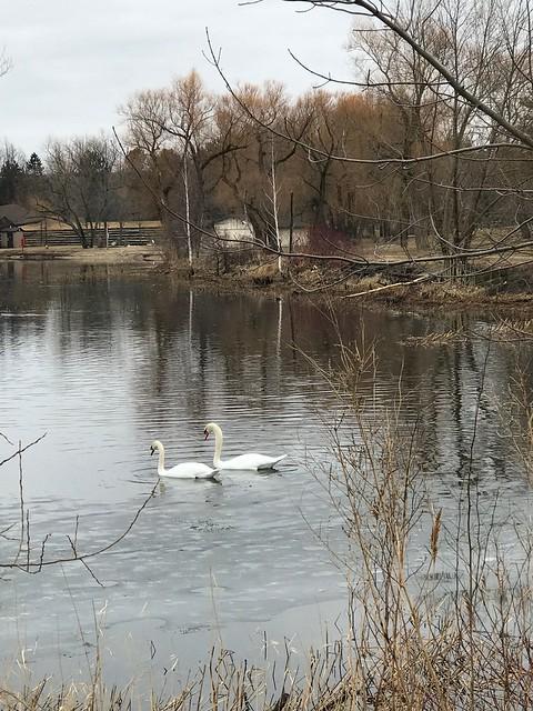 Owen Sound - Swans