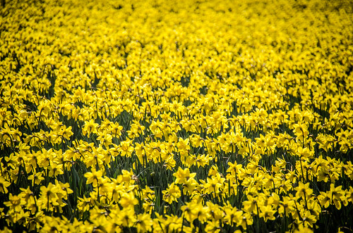 Skagit Daffodils-5