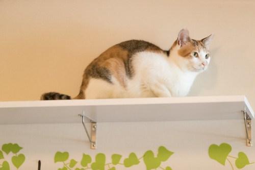 アトリエイエネコ Cat Photographer 40077297295_f84639ca05 1日1猫!保護猫カフェみーちゃ・みーちょ その2 1日1猫!  里親様募集中 猫写真 猫 子猫 大阪 保護猫カフェ 保護猫 スマホ カメラ みーちゃ・みーちょ Kitten Cute cat