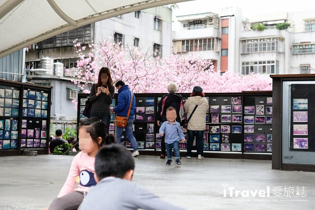 土城赏樱景点 希望之河左岸樱花 (6)
