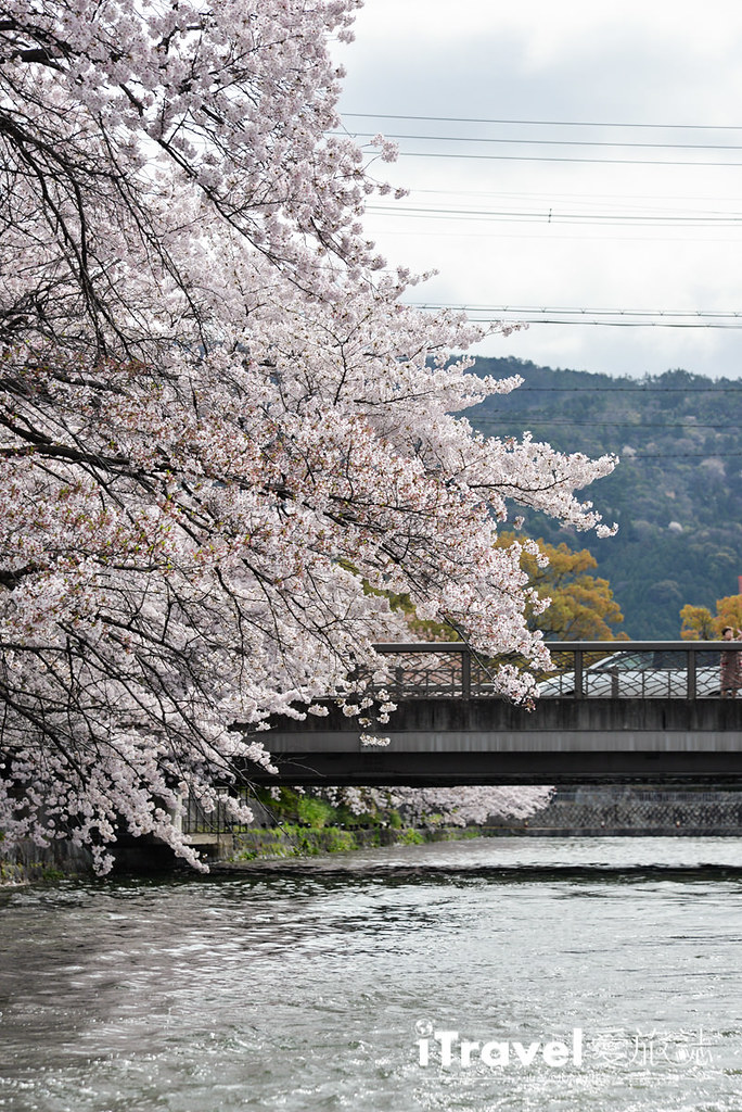 京都賞櫻景點 岡崎疏水道 (17)