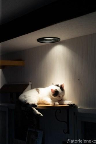 アトリエイエネコ Cat Photographer 40900620994_eb214234ec 1日1猫!小さな猫カフェ「ペルちゃん」に行ってきた その3♪ 1日1猫!  里親様募集中 猫写真 猫 守口市 子猫 大阪 写真 保護猫カフェ 保護猫 ペルちゃん スマホ Kitten Cute cat